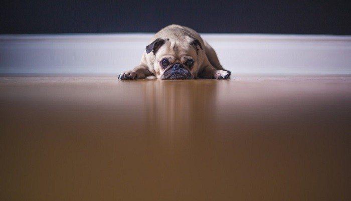 dog-pug