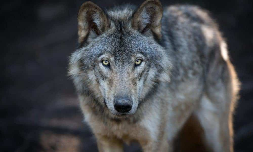 50 Wolf Quotes Sayings and Proverbs Celebrating Your Instinct