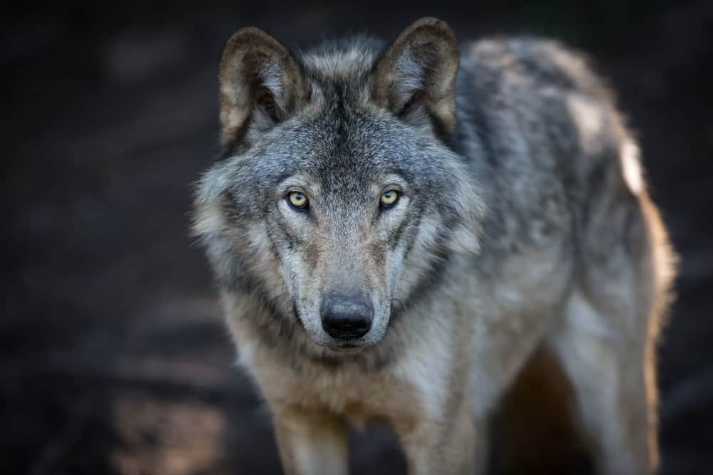50 Wolf Quotes, Sayings and Proverbs Celebrating Your Instinct