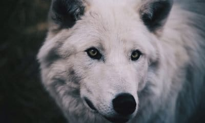 wolf quotes sayings and proverbs about wolves