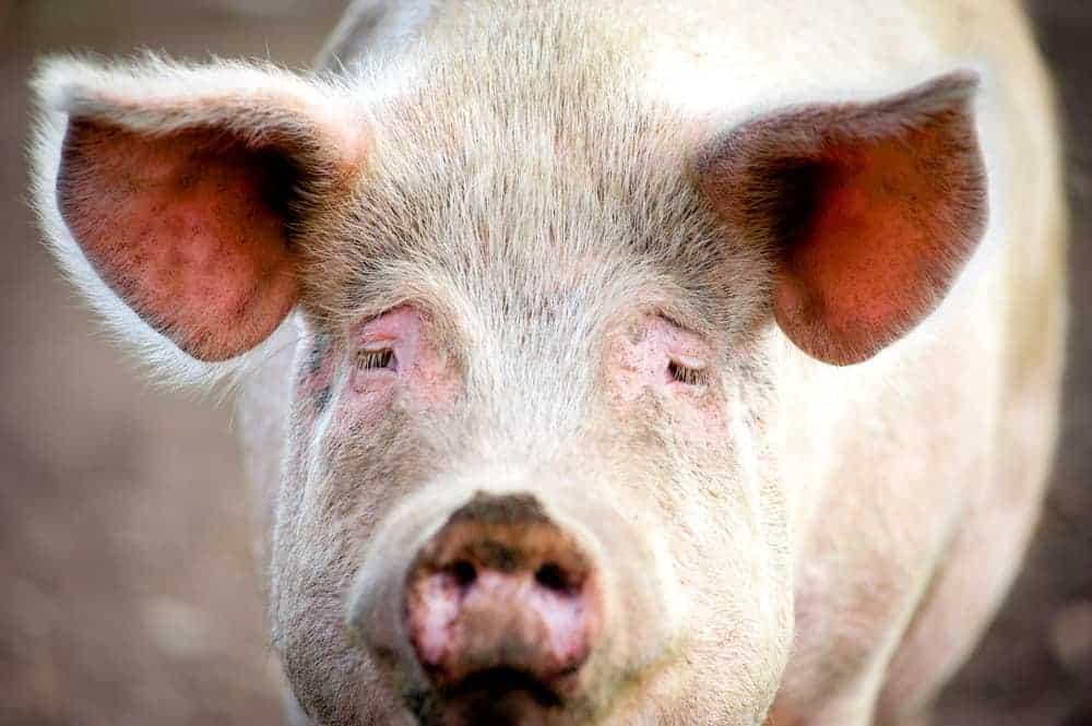 50 Animal Farm Quotes To Teach You the Power of Too Much Power