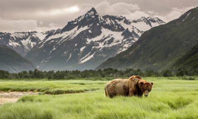 A Bear in a Field