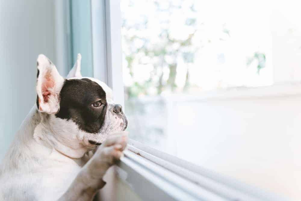 A Dog by the Window