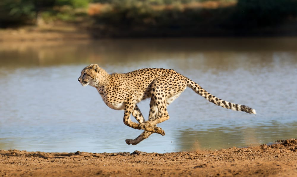 30 Cheetah Quotes About the Fastest Land Animal