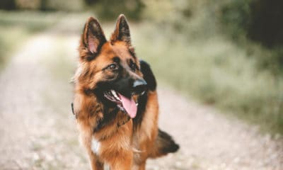 40 German Shepherd Quotes That Will Make You Want a GSD Puppy